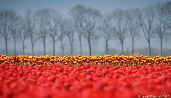 Bollenvelden NO polder 20120430 0002