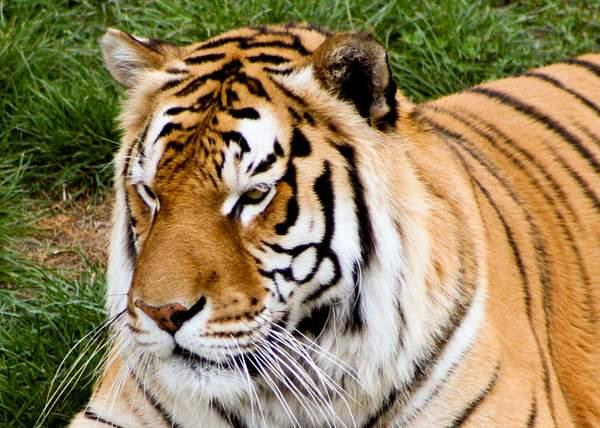 Thinking Tiger