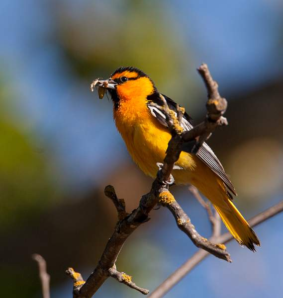 Bullock's Oriole Resting with Food