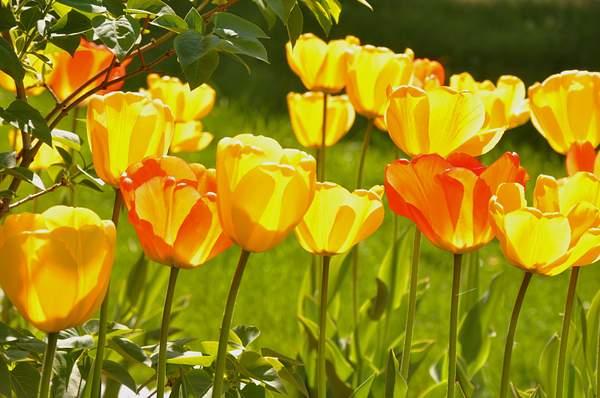 Morning Blooms.