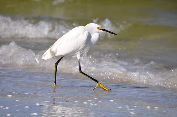Sanibel Island Snow Egret