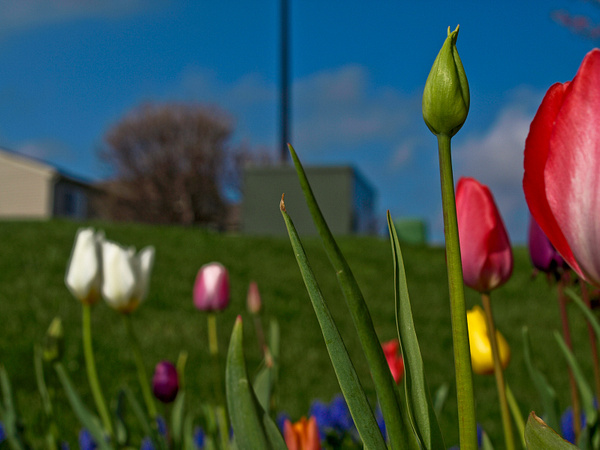 Attack of the Killer Tulips by aaronhollows