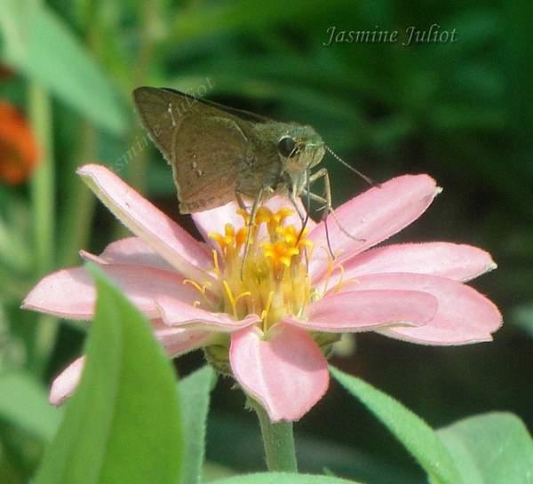 Skipper Butterfly on Zenia