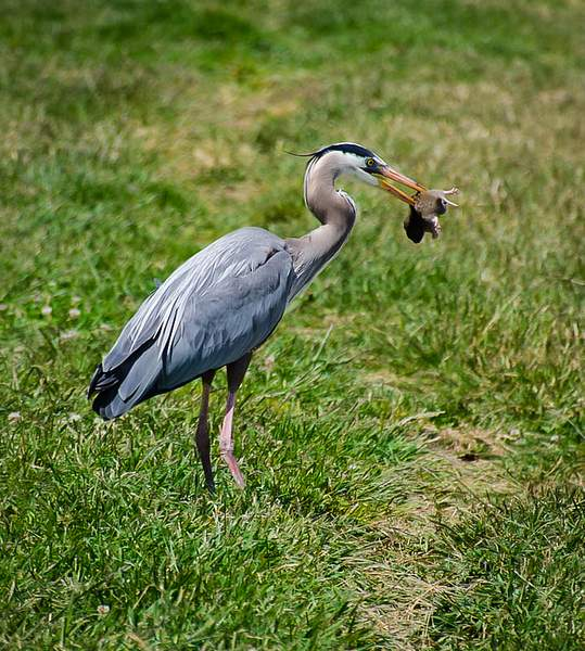 Great Blue Heron/gopher