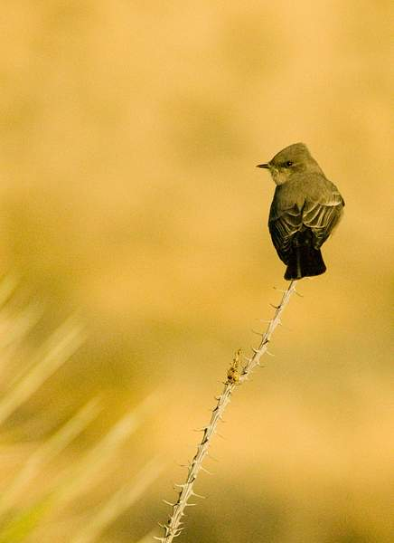 Ocotillo with Bird