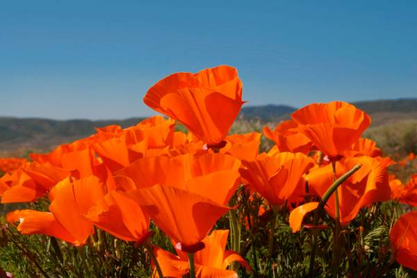 Dan Blackburn California Poppies,  Antelope Valley, California 102 copy