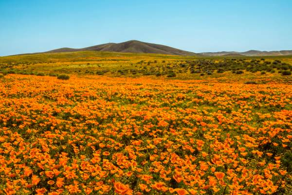 Dan Blackburn Poppies Antelope Valley CA_T0B0116 copy