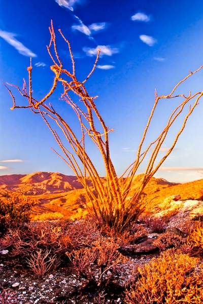 Dan Blackburn 100701-0002 Sunrise on Ocotillo Anza Borrego Desert CA copy