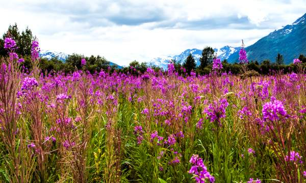 Dan Blackburn Intense Fireweed Portage Alaska_MGL7766 copy
