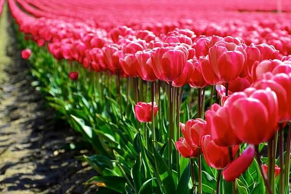 Skajit Valley tulips