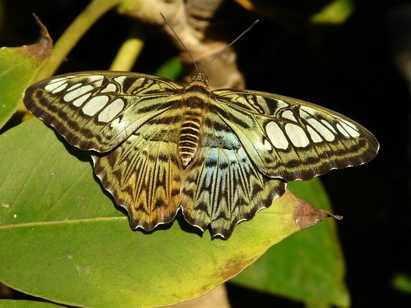 Butterflies II by Susan