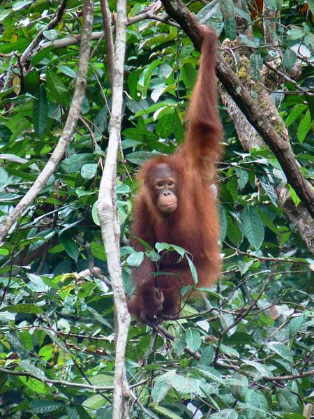 Orangutan_baby_936_AC