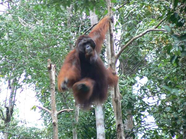 Orangutan_Big_Daddy_coming_at_ya_014
