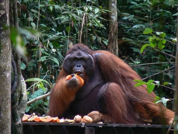 Orangutan_Eats_067