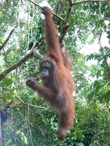 Orangutan_hang_005