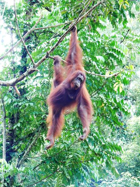 Orangutan_hang_920_AC