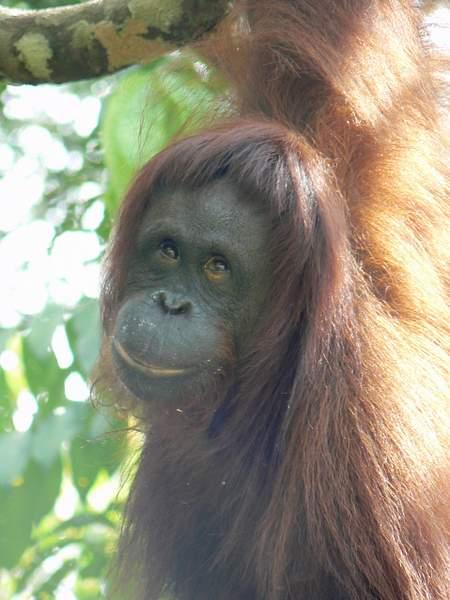 Orangutan_look_979
