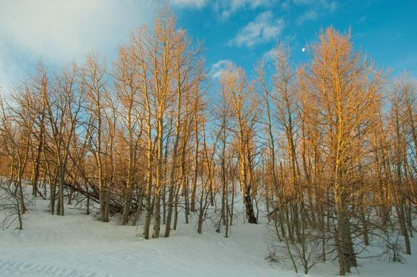 Winter Aspen In The Sierra Nevada