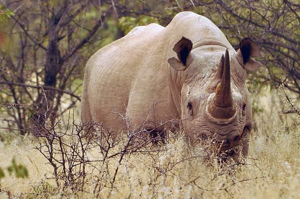 rinoceronte nero a Kamanjab