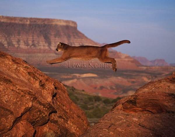 Mountain Lion jumping #1