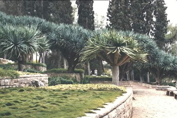 drakontree