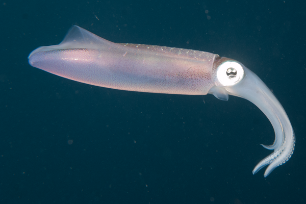 Cliff- Caribbean Reef Squid