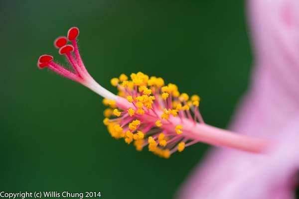 Hibiscus stamen and pistil