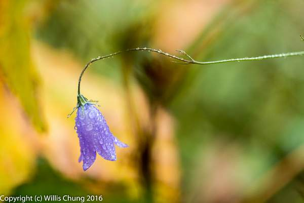 Damp bluebell-of-Scotland