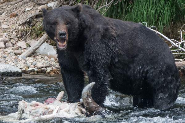 Not very neat eaters, bears.