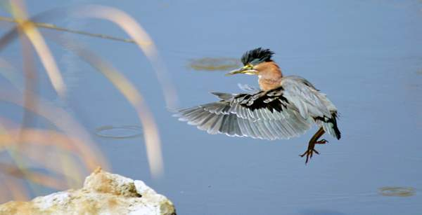 Green_Heron(Butorides_virescens)_with_landing_gear_down