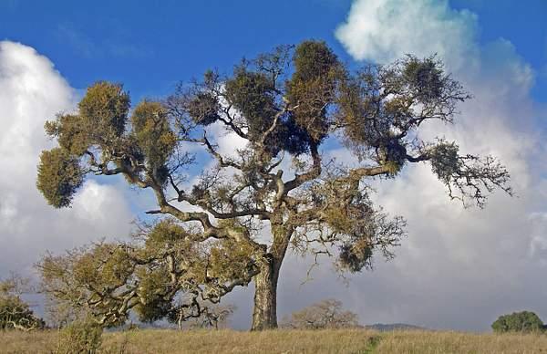 Majestic_Oak_and_Mistletoe
