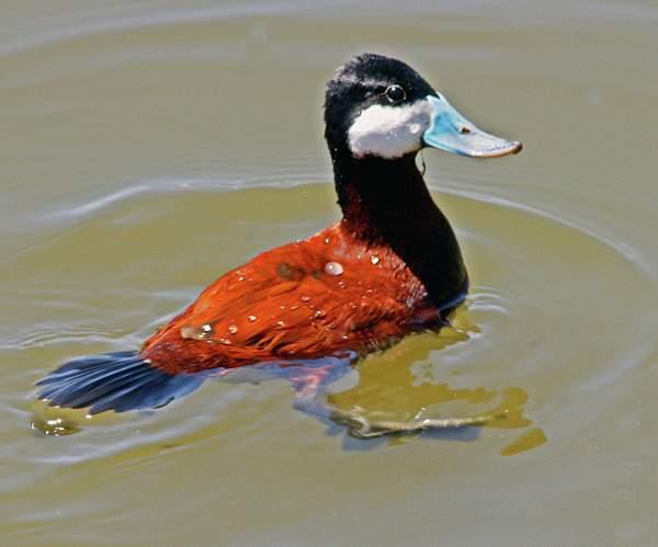 Male_Ruddy_Duck-Breeding_plumage_edited-1_9