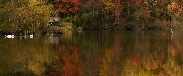 Reflections-Mute_Swams,Great_blue_Heron,_Fall_Foliage_9