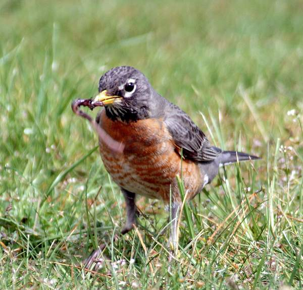 Robin_with_worm-