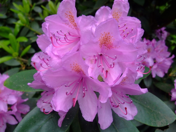 Rhododendron by Clarissa