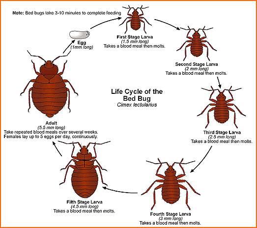 bedbugslifecycle
