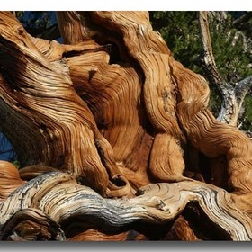 The Bristlecone Forest