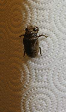220px-Cicada_molting_animated-2