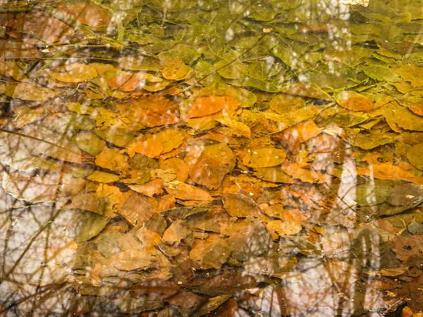 Leaves in a Pond (Feb 2013)