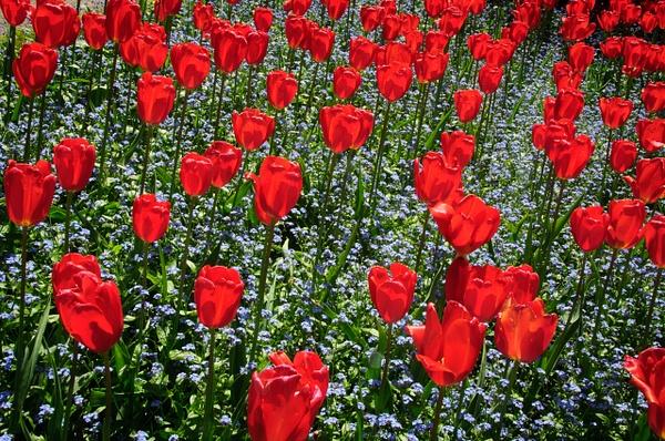 Red Roses by SBerzin