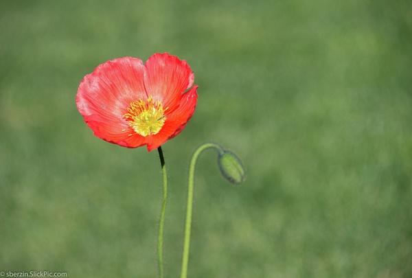 Poppy Flower by SBerzin
