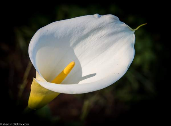 Calla Lilly-8446