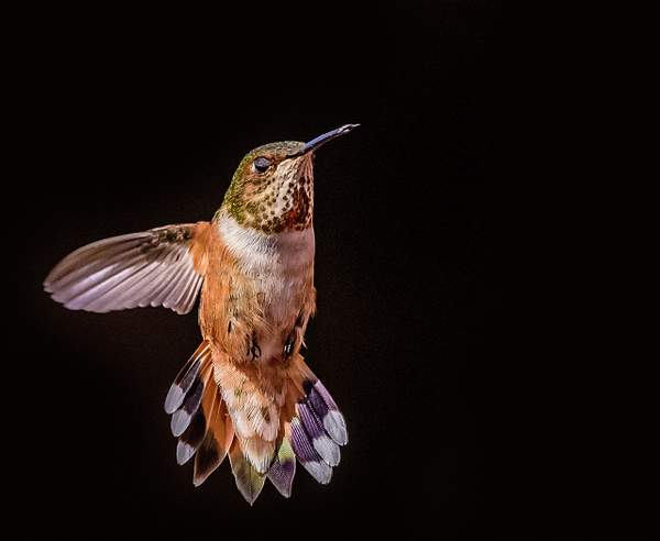 Female Rufous Spreading Her Tail