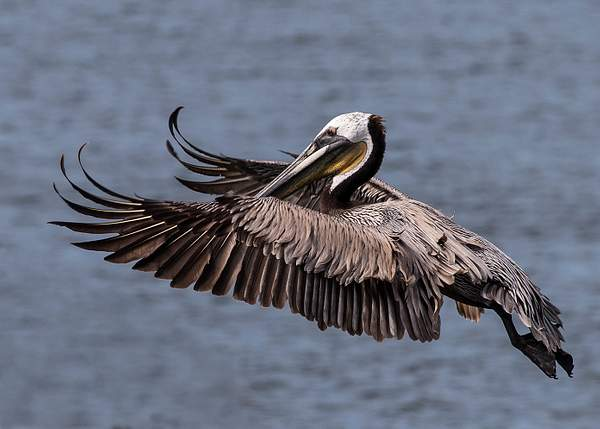 Pelican Spreading Its Wing Tips (1 of 1)