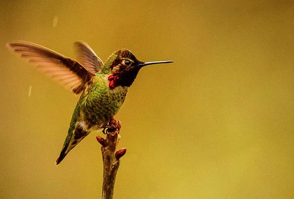 Hummer Shaking Off the Rain