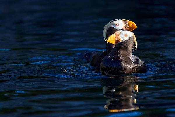Tufted Puffin Sweet Hearts