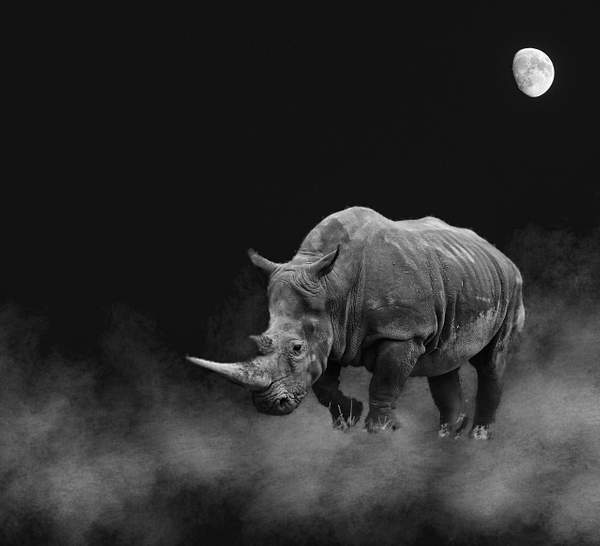 Rhino Dreams