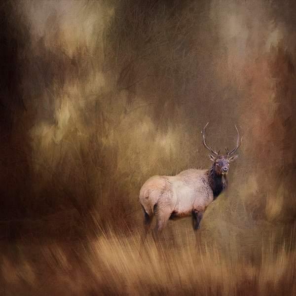 Bull Elk in the Back Yard