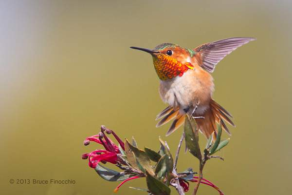 Male Allen's Hummingbird Does A Wing and Tail Stretch