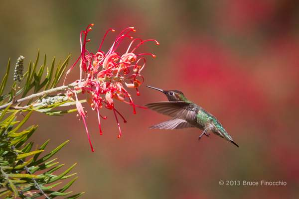 Male Anna's Hummingbird About To Pollinate Superb Grevillea Blossom